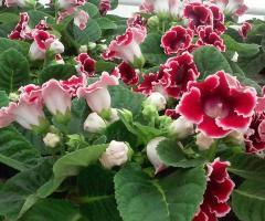 Roślina domowa bardzo popularna na Dzień Matki.