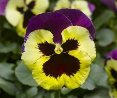 Roślina wczesnej wiosny.Polecany na rabaty i obsadzenia skrzynek balkonowych.