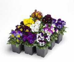 Roślina wczesnej wiosny. Mocno krzewiąca i obficie kwitnąca odmiana bratka