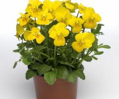 Roślina wczesnej wiosny.