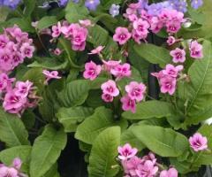 Roślina domowa zdobi nasze okna przez cały rok kwitnie od kwietnia do lstopada